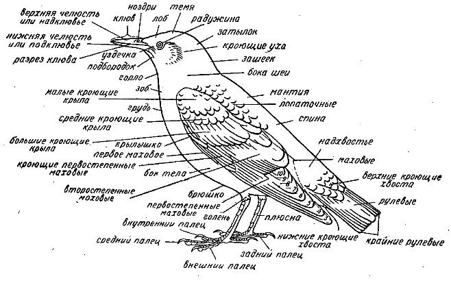 нырковая утка фото