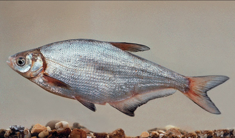рыба урала фото и название